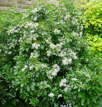 evergreen shrubs Choisya ternata by the sunday gardener