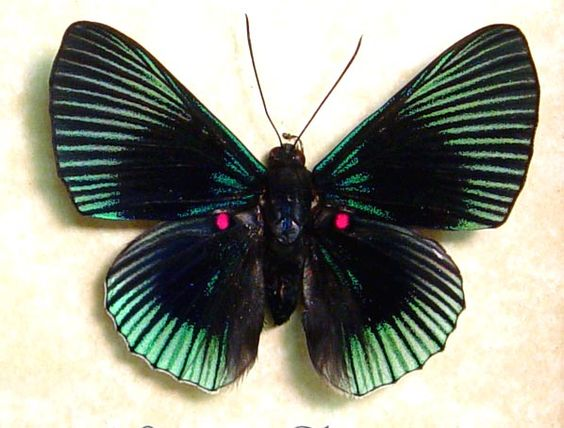 Green Rays Red Spotted Butterfly   lyropteryx apollonia