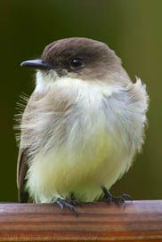 Eastern Phoebe - we have a nesting over a light on the back of the garage, they are such busy little birds catching bugs and tweeting.