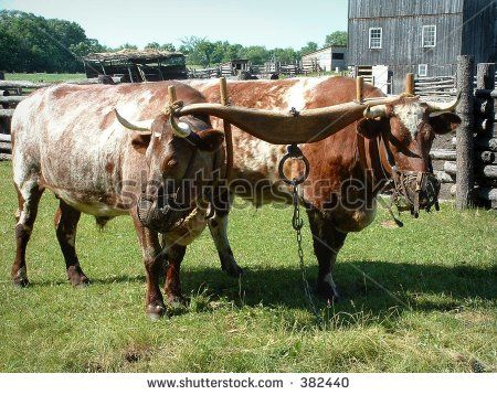 Oxen yolked together for working ~ Sarah's Country Kitchen ~
