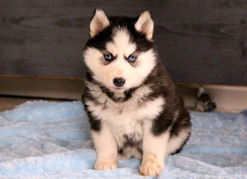 Siberian Husky Puppy For Sale In Mount Joy Pa Adn 61160 On