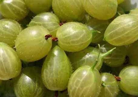 Gooseberries (Ribes spp.) : Josselyn (Red Jacket)