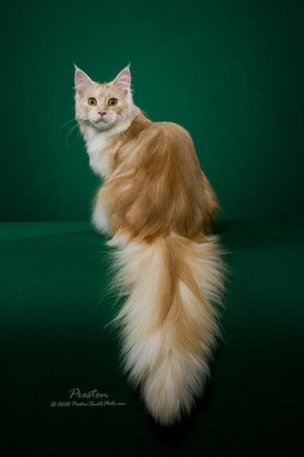 Cameo Maine Coon Cat - the gentle giant- reminds me of my old cat.. Looks just like my Cameo Cloud