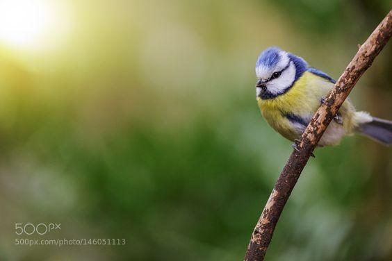 Blaumeise by kleykoeln via http://ift.tt/1RDSusb