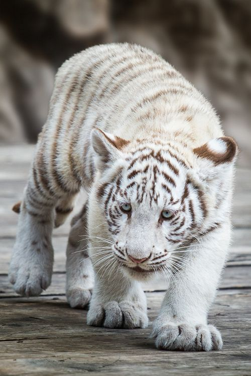 plasmatics-life:  { Little Tiger } x Christian Mladik