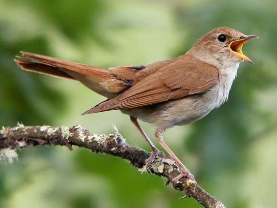 Common Nightingale - eBird