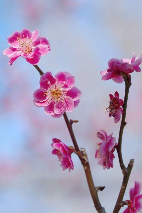 梅 鴛鴦えんおう 花一つにつき実が二つ可愛く並んで成ることから おしどりになぞらえて命名されたそうです  Ume...