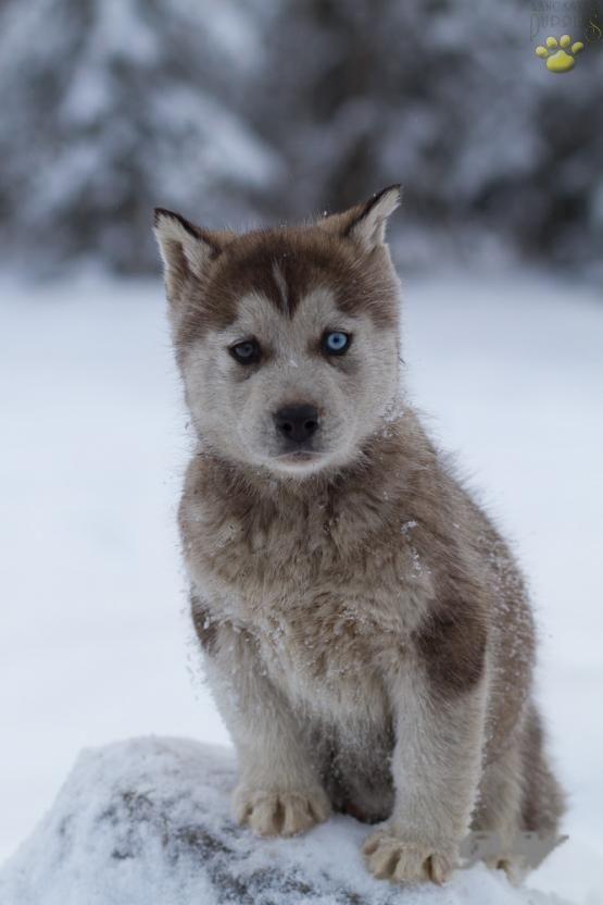 Adorable Corgi Helps Pull His Brother S Socks Off Every Single Day Siberian Husky Husky Wolf Hybrid Puppies