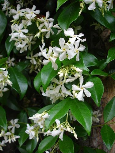Trachelospermum jasminoides which I have pinned before.  This evergreen climber wants a south or west-facing position.  It can be grown along a wire fence and will eventually turn into a hedge.  It flowers in mid-Summer when its perfume will waft over the garden.  Scroll down for further details.