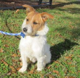 Parson is an adoptable Jack Russell Terrier (Parson Russell Terrier) Dog in Jefferson, LA. Expect this boy to be active, agile and smart. He walks nicely on a leash and is learning to sit for treats. ...: