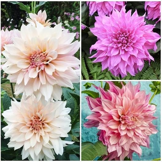 Dahlia Bulbs Dinnerplate Cafe Au Lait Collection Dahlia Tubers Eden Brothers Dahlia Bloom Beautiful Blooms