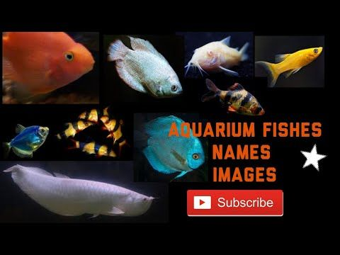 Learn All Kinds Of Aquarium Fishes Names English Aquarium Fish With Pictures Betta Fishneon Tetra Guppy Fish Oscar Fish Aquarium Fish Oscar Fish Molly Fish