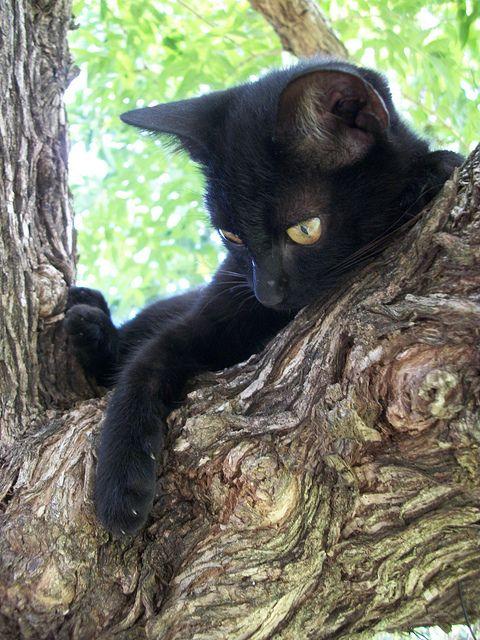 Subir na árvore para admirar e ser admirado! ;) #Gato #GatoPreto