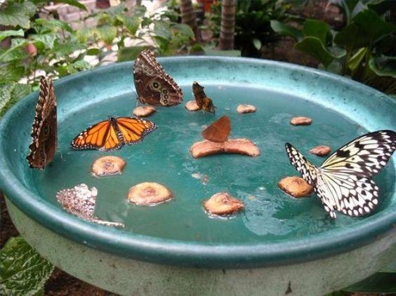 Vlinder lokken door water, suiker en over rijp fruit te gebruiken. Helder kleuren lokt vlinders.: