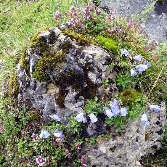"""Ein natürlicher """"lebender Felsen"""" bei Bad Gastein mit Thymian und Zwerg-Glockenblume (Campanula cochleariifolia)"""