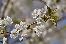 Blüten, Kirschbaumblüte, Frühling