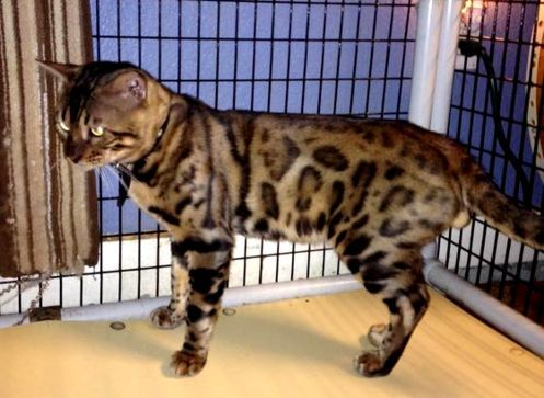 Lestat Beautiful Leopard Spotted Bengal Kittens For Sale Baton