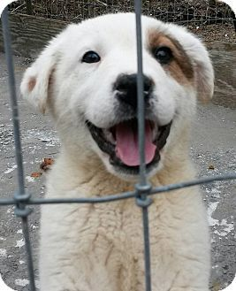 Staten Island, NY - Louie's Legacy, Great Pyrenees/St. Bernard Mix. Meet Tanika, a puppy for adoption. http://www.RESCUEmNOW.com/pet/12671984-staten-island-new-york-great-pyrenees-mix