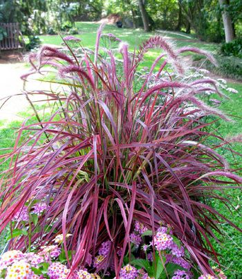 Pennisetum - Fireworks... Good for dry locations such as gravel beds & rock gardens