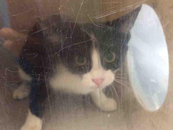 SUNNI - A1085143 - - Brooklyn  ***TO BE DESTROYED 08/17/16*** PERFECTLY HEALTHY KITTEN SUNNI WILL DIE FOR NO REASON AT ALL!! Yes here we are again with yet ANOTHER healthy adoptable kitten who is being punished with death because she is afraid!! SUNNI is a cute little girl and how do you expect a 5 month old baby to act if caged in a scary place? Well it seems that the ACC could not spare one foster to take and soothe the fears of this cutie pie, because it was much easier