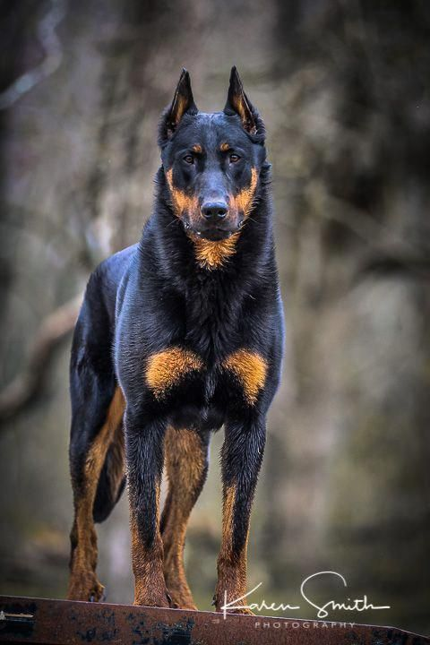 Pin By Kingc Jadennyc On Dogs Dogs Rottweiler Dog Scary Dogs