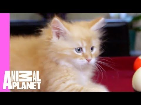 Siberian Calvin Is Up For A Game Of Pool With Dad Too Cute Youtube Cute Cat Gif