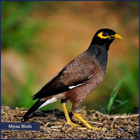 Did You Know Indian Myna Is One Of The Best Avian Mimics Of Human Speech Second Only To The Gray Parrot