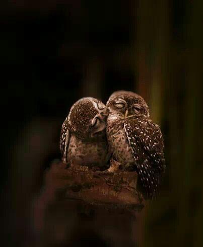 Cuddling owls: