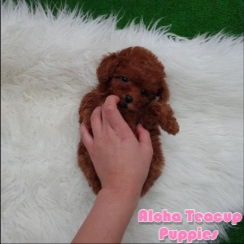 Pin By Aloha Teacup Puppies On Teacup Poodle Teacup Puppies Toy