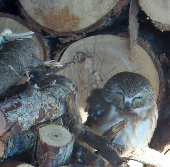 Saw-whet owl hanging out in the woodshed. Photo: Alison Brant, Potsdam, NY