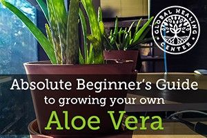 We started growing little aloe vera plants here at the GHC office. We love it! Here's our beginner's grow guide.