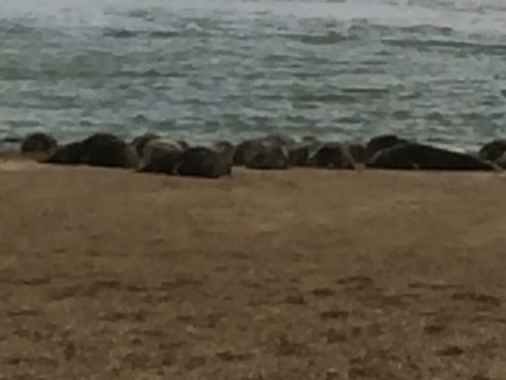 Seals at Horsey Gap