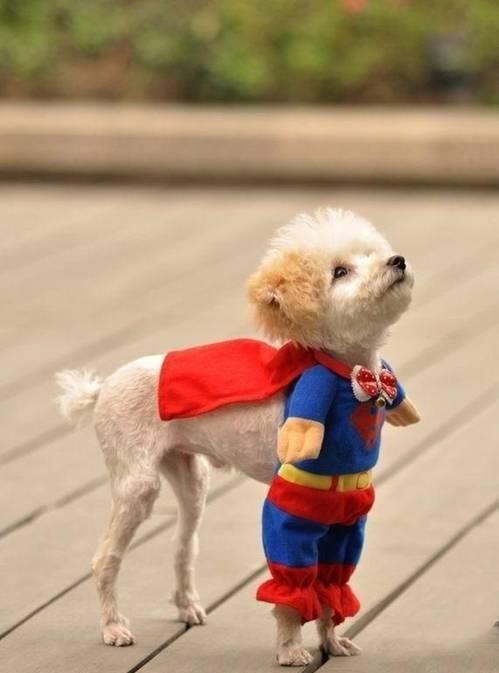 LMAO .. very cutie: Halloween Costumes, So Cute, Super Puppy, Cute Animals, Dog Costumes, Halloweencostume, Funnie, Socute