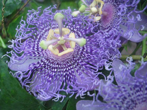 Passiflora hybrid Fata Confetto | Quart Plant - Click Image to Close