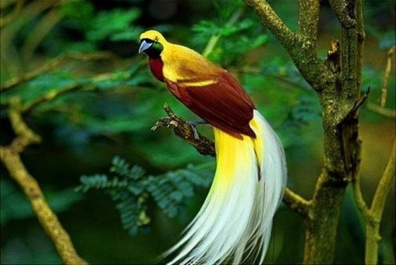 wallpapers birds of paradise - Buscar con Google
