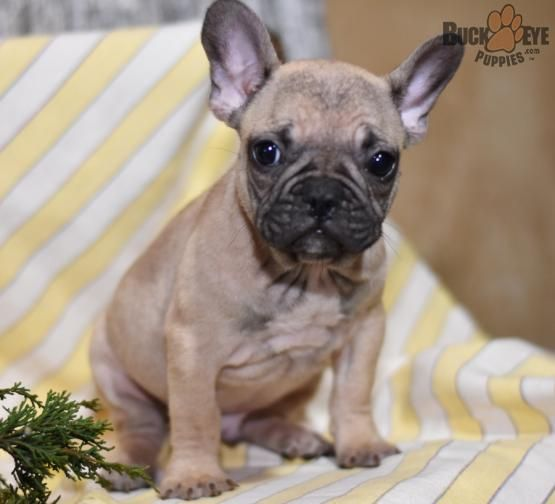 Pin By Sarah Sossamon On Puppies French Bulldog French Bulldog