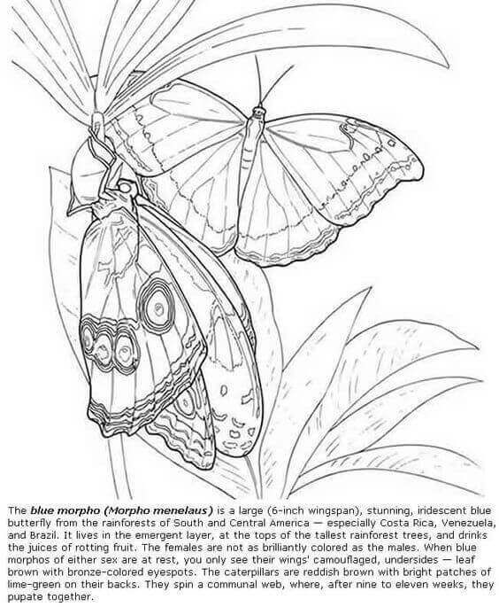 Blue Coloring Morphoterfly Pages 2020 Butterfly Coloring
