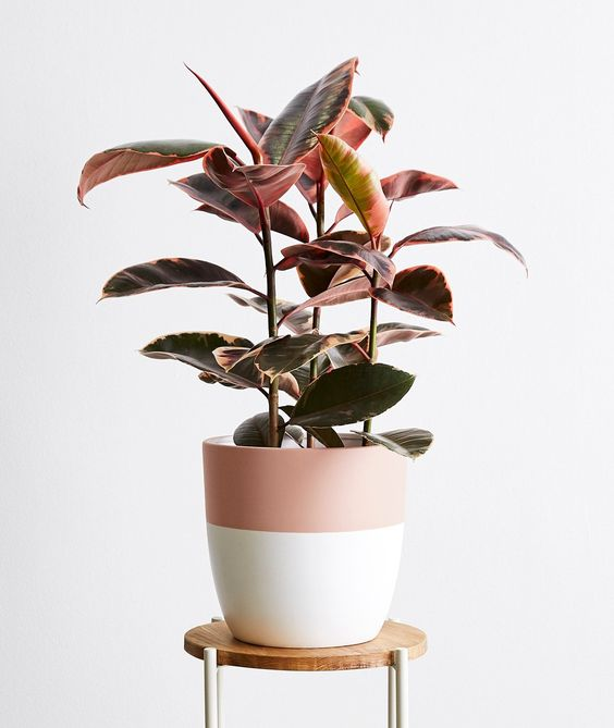 Ruby Rubber Tree - 10 Pink Indoor House Plants