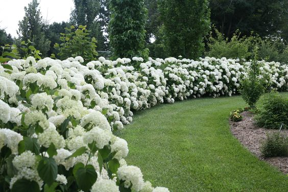 Jardins lisse and haie priv e on pinterest - Quand couper les fleurs fanees des hortensias ...