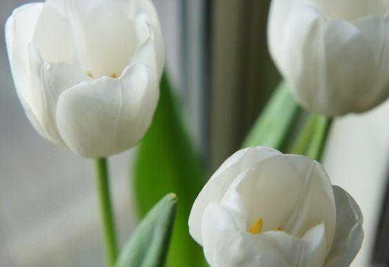 'Trio' White tulips make me smile :)