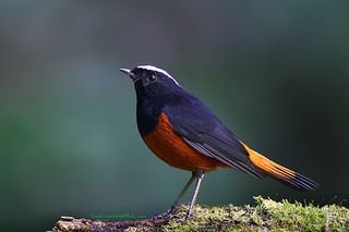 นกเขนหัวขาวท้ายแดง / White-capped Water Redstart / Chaimarrornis leucocephalus | by bambusabird
