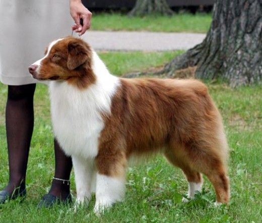 Little known facts and info about Australian Shepherd Dogs.