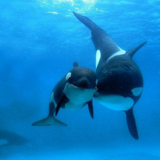 Mother Orca whale and baby | Fish & Water life | Pinterest ...