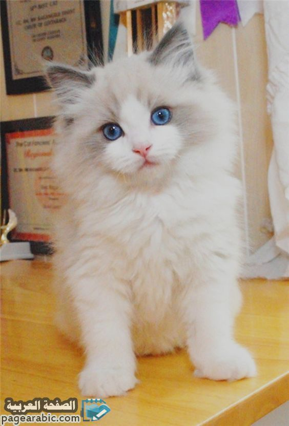 اسماء قطط ذكور ملكية 2019 Cats Kittens Cute Cats