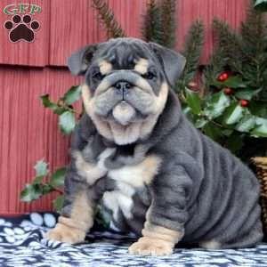 Little Boy Blue English Bulldog Puppy For Sale In Pennsylvania