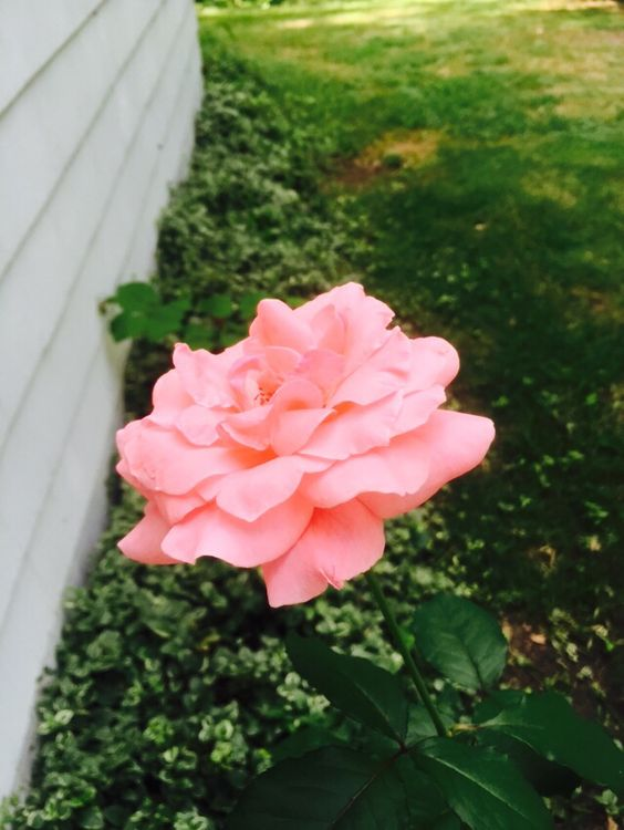 Pretty pink rose at one of my listings.