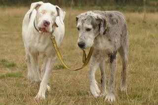 Seeing dog leading it's blind friend.