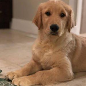 Golden Retriever Puppy Needs Forever Home Golden Retriever Puppy Golden Retriever Cuddly Animals