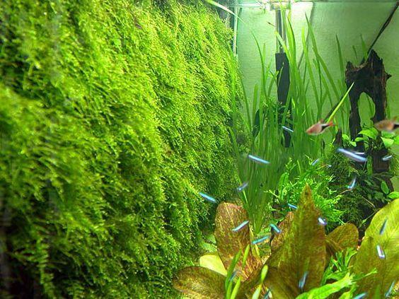 Java Moss Care Tips Moss Carpets Moss Trees Aquarium Info Fish Tank Plants Live Aquarium Plants Wall Aquarium