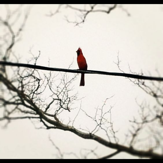 Bright red cardinal singing on a grey day.
